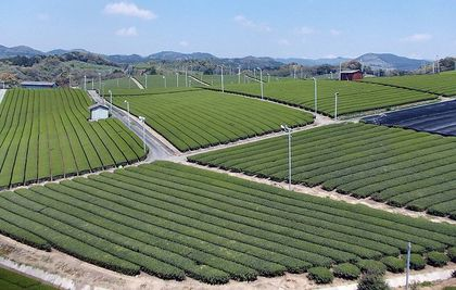 800px-Yame_Tea_Plantation_03.jpg